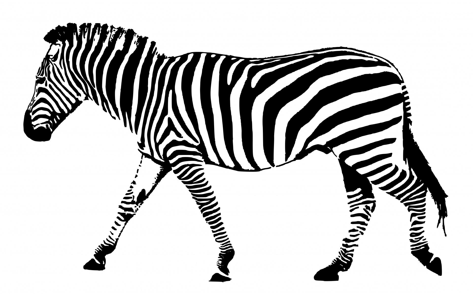 zebra-black-white-stripes
